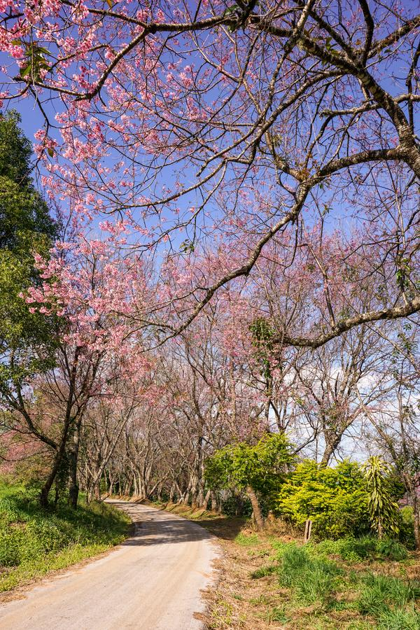 A road with pink Sakura trees under clear blue sky. At Luang Khun Wang Royal Agricultural Research Center, Doin Inthanon, Chiangmai, Thailand royalty free stock photography