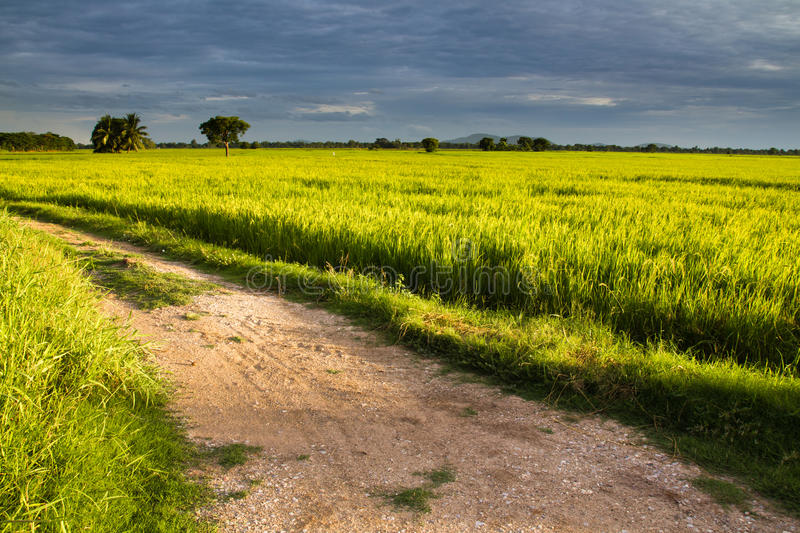 Download Road in rice field stock image. Image of field, horizon - 25512083