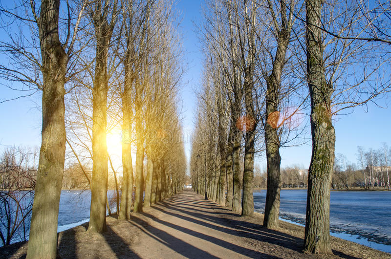 Road and row of poplar trees in a spring park on a sunny day royalty free stock image