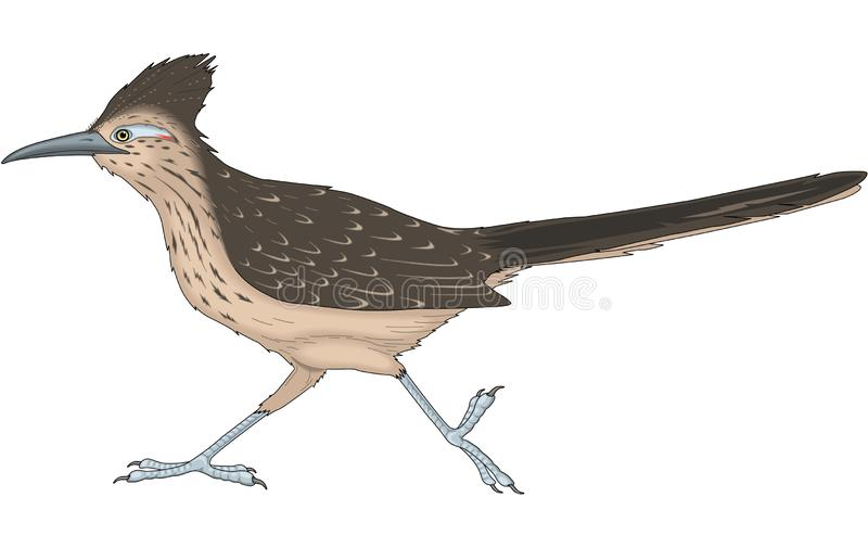 Road Runner Illustration. A vector illustration of a road runner vector illustration