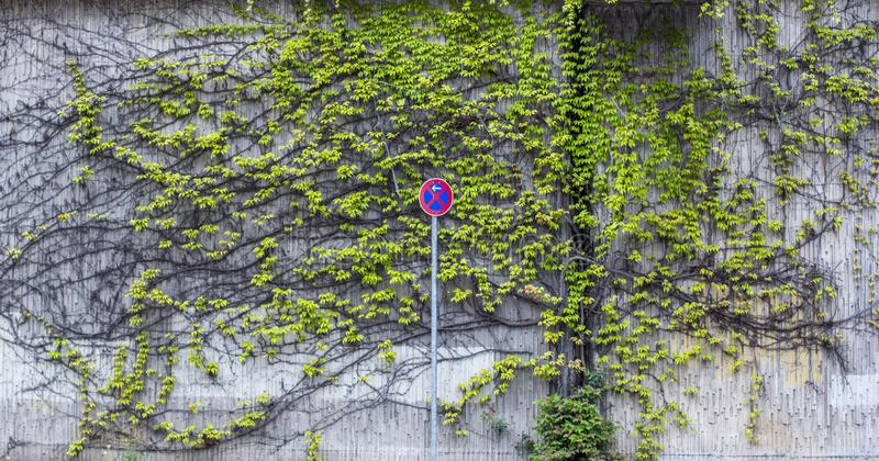 Road sign - stop is prohibited. Background from climbing plants on the wall. Urbanized greens royalty free stock images