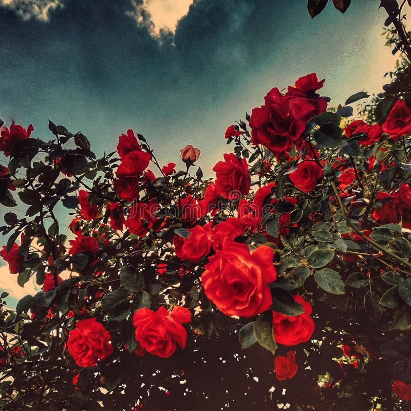 Love nature. Trees, road, you can do it. Roses/ Red roses. Road. Sky. Clouds. Look up. Love is in the air.  Road in the villege. Roses red royalty free stock photography