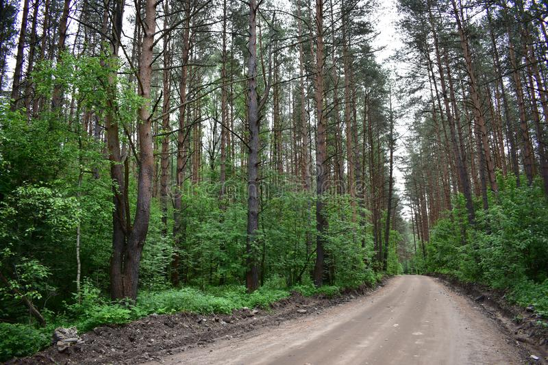The road through the slender corridor of pine trees. Pine is undoubtedly one of the oldest trees. Homogeneous coniferous forest stock image