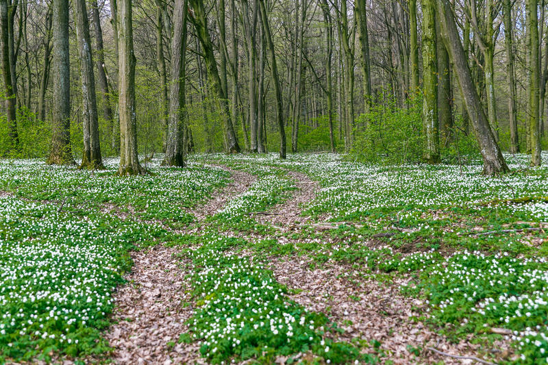 Road in a spring forest with beautiful white flowers. royalty free stock photography