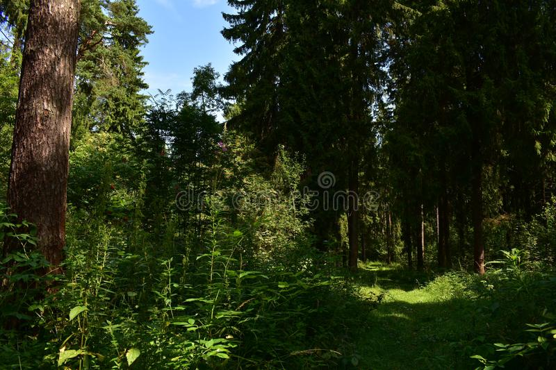 The road in the spruce forest runs down a narrow path into the forest among fragrant fresh herbs the evergreen forest. Smells of pine cones, resin and the charm stock photography