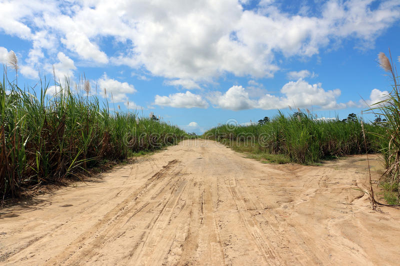 Road through sugarcane fields. Wheel signs on dry muddy road passing through fields of sugarcane and high grass stock photos