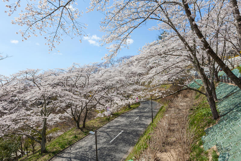 Road to Funaoka castle ruin park in Miyagi, Japan. The full bloom cherry blossoms (Sakura) and the road to Funaoka castle ruin park in Miyagi, Japan. This place royalty free stock photo