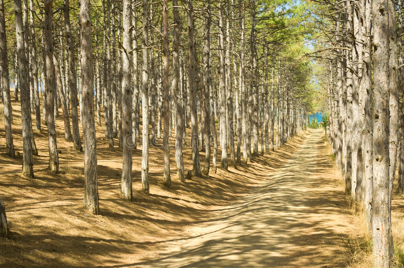 Road to pine forest stock images