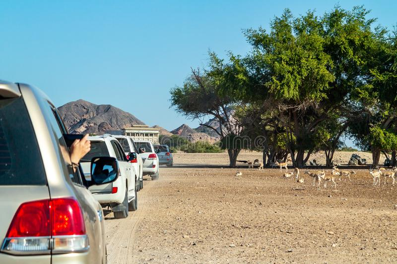 Road to Safari Park on Sir Bani Yas Island, Abu Dhabi, United Arab Emirates.  royalty free stock photography