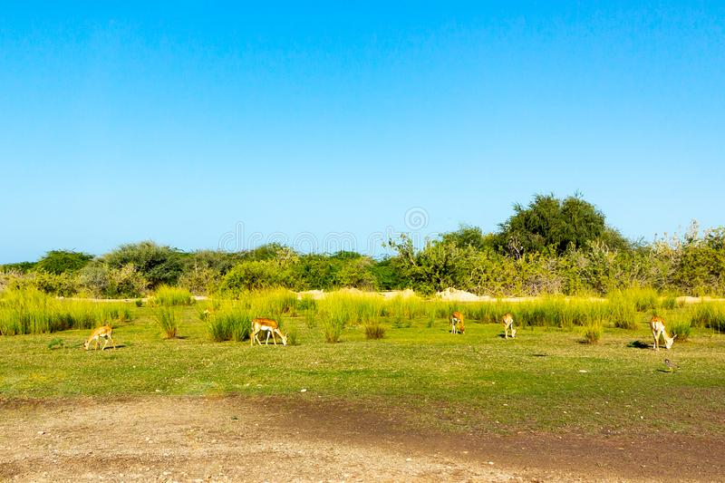 Road to Safari Park on Sir Bani Yas Island, Abu Dhabi, United Arab Emirates.  royalty free stock photos