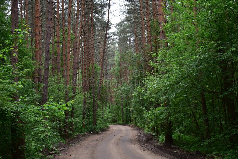 The road to a slender pine woods, tall pines rest on the sky with quaint twisting stock image