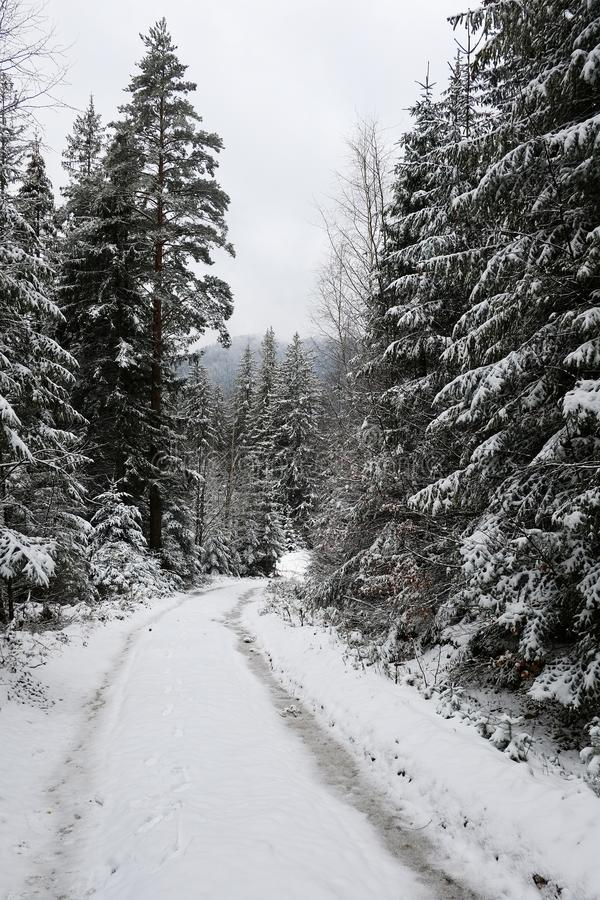 Road with tracks through snow covered pine spruce forest in winter season stock photography