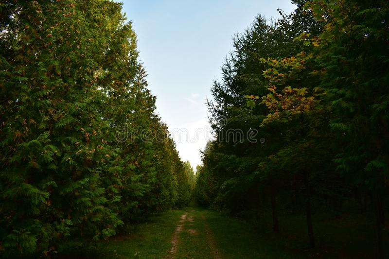 Road trail path arboretum hairy tunnel of conifers arborvitae, smooth line alley, the green soft grass is spread royalty free stock image