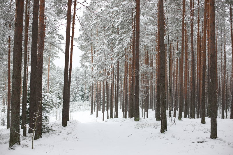 Road through winter forest stock image