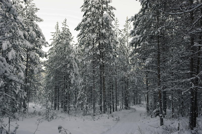 Road in winter forest. Ski the road in the winter forest stock photos