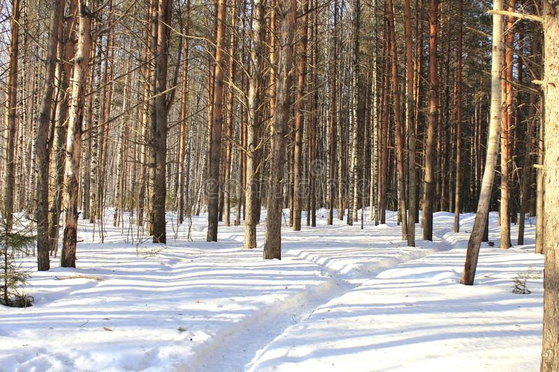 Road in winter forest in sunny day royalty free stock image