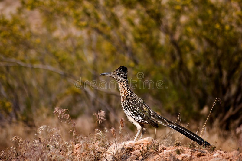 Download Roadrunner stock photo. Image of famous, hunting, copyspace - 9442246