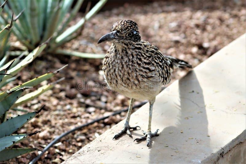 Roadrunner Desert Botanical Garden Phoenix, Arizona, United States. Roadrunner bird at the Desert Botanical Garden during the winter located in Phoenix, Arizona stock images