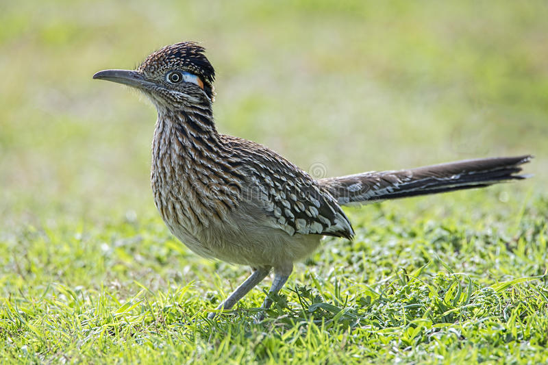 roadrunner bird hunting food in grassy field,beak,feathers,wing,wildlife royalty free stock photos