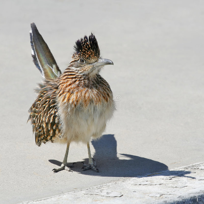 Download Roadrunner on the Curb stock photo. Image of bird, life - 4632996