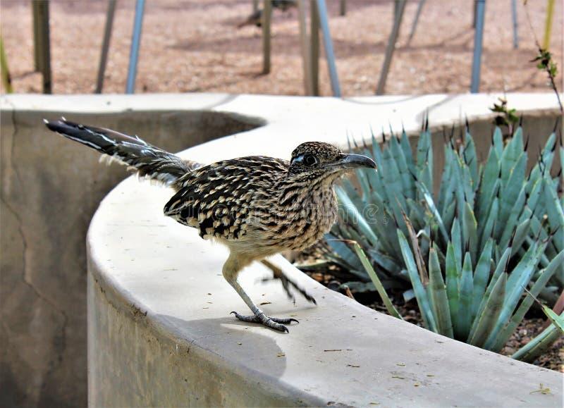 Roadrunner Desert Botanical Garden Phoenix, Arizona, United States. Roadrunner bird at the Desert Botanical Garden during the winter located in Phoenix, Arizona stock image