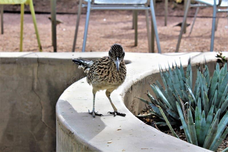 Roadrunner-Wüsten-botanischer Garten Phoenix, Arizona, Vereinigte Staaten stockbilder