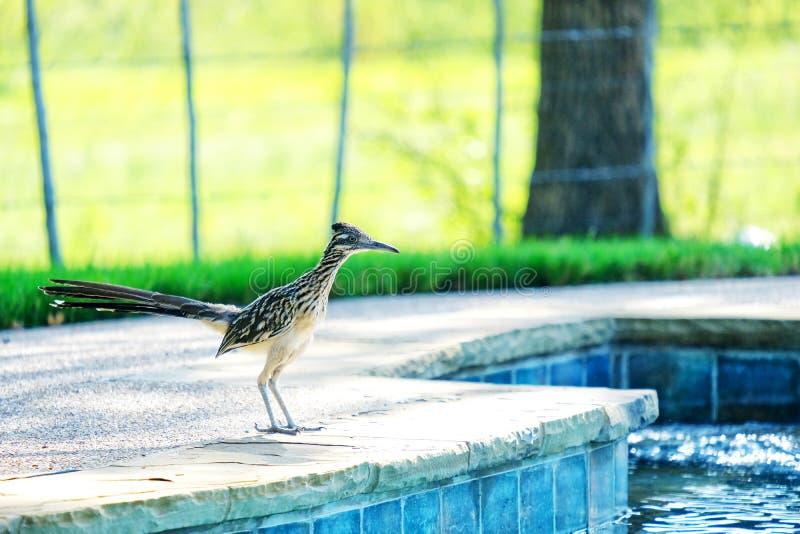 Roadrunnervogel durch Pool lizenzfreies stockfoto