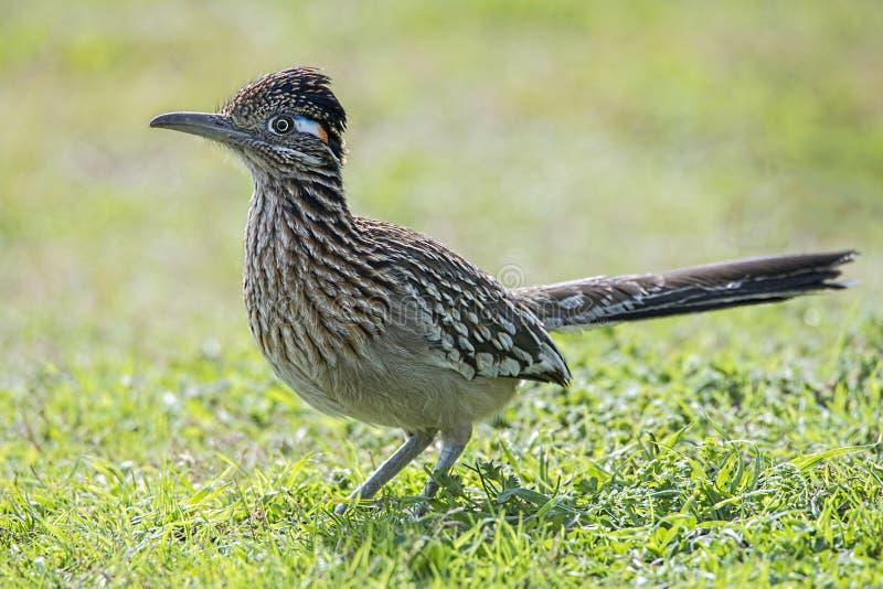 Roadrunnervogel-Jagdlebensmittel auf dem grasartigen Gebiet, Schnabel, Federn, Flügel, lizenzfreie stockfotos