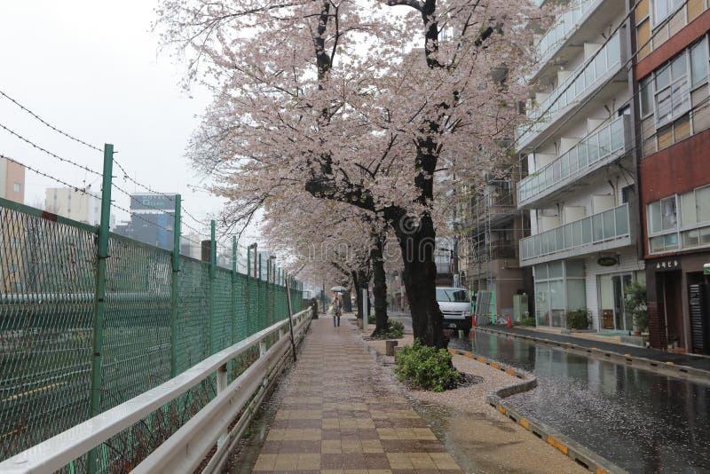Roadside Cherry Blossom trees Sugamo, tokyo, Japan. The Roadside Cherry Blossom trees Sugamo, tokyo, Japan royalty free stock images