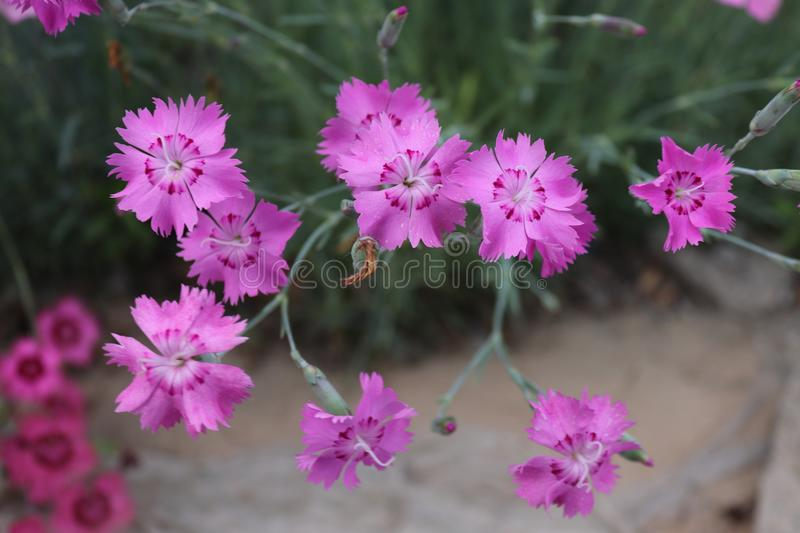 Roadside Dianthus flower. Chinese village stock photos