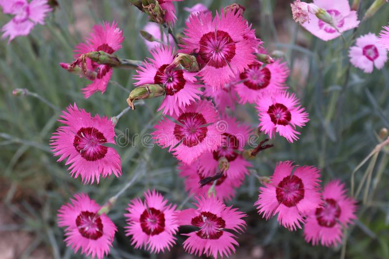Roadside Dianthus flower. Chinese village royalty free stock photos
