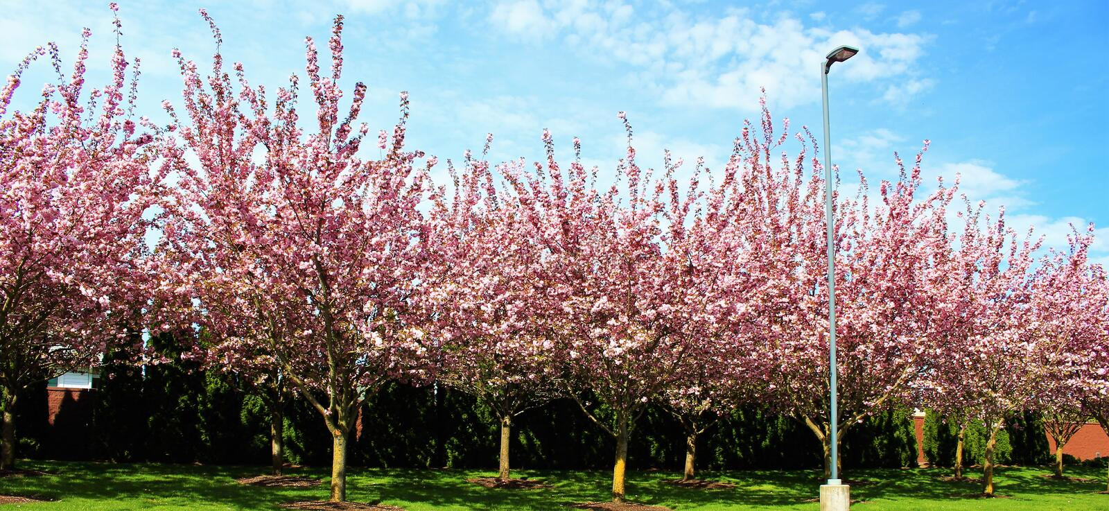 Roadside flowering trees. Rows of flowering trees along the road royalty free stock images