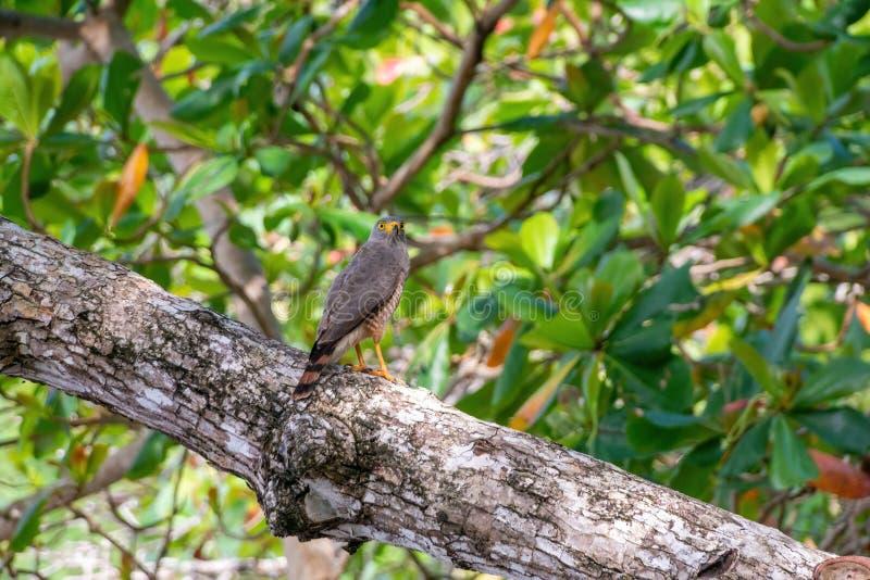 Roadside Hawk (Buteo magnirostris royalty-vrije stock foto's