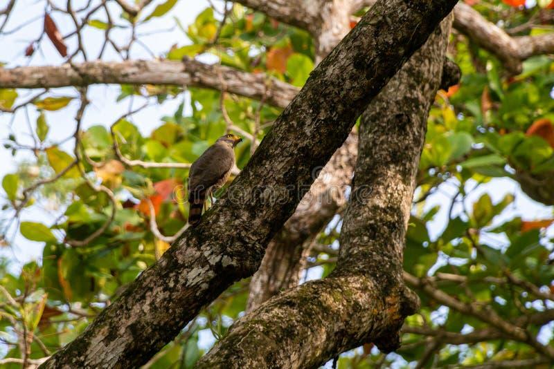 Roadside Hawk & x28;Buteo magnirostris. & x29;, taken in Costa Rica, accipitrids, accipitridae, bird, prey, birds, nature, raptor, animal, animals, avian stock photo