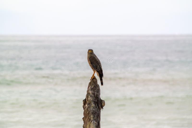 Roadside Hawk & x28;Buteo magnirostris. & x29;, taken in Costa Rica, accipitrids, accipitridae, bird, prey, birds, nature, raptor, animal, animals, avian stock image