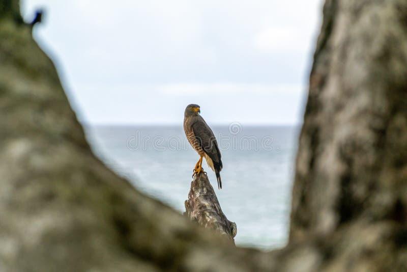 Roadside Hawk & x28;Buteo magnirostris. & x29;, taken in Costa Rica, accipitrids, accipitridae, bird, prey, birds, nature, raptor, animal, animals, avian stock images