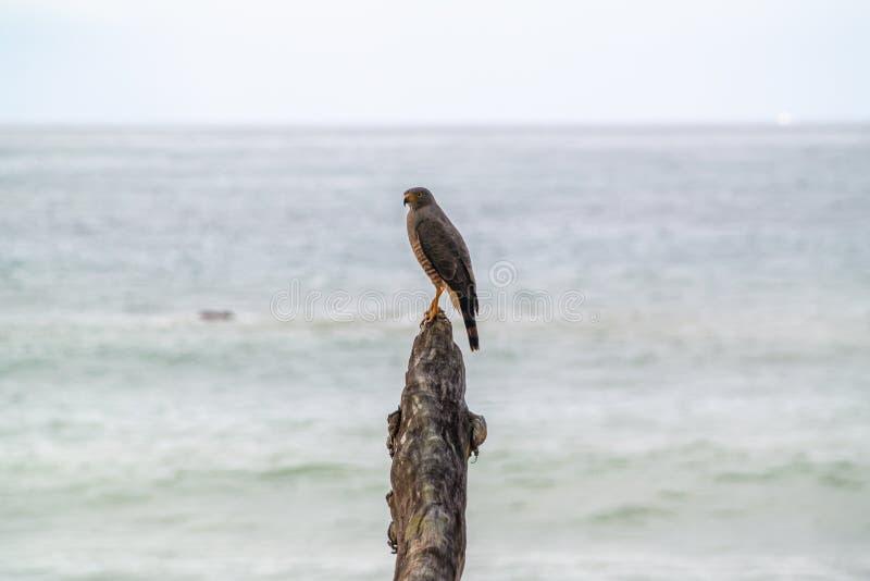 Roadside Hawk & x28;Buteo magnirostris. & x29;, taken in Costa Rica, accipitrids, accipitridae, bird, prey, birds, nature, raptor, animal, animals, avian royalty free stock photography
