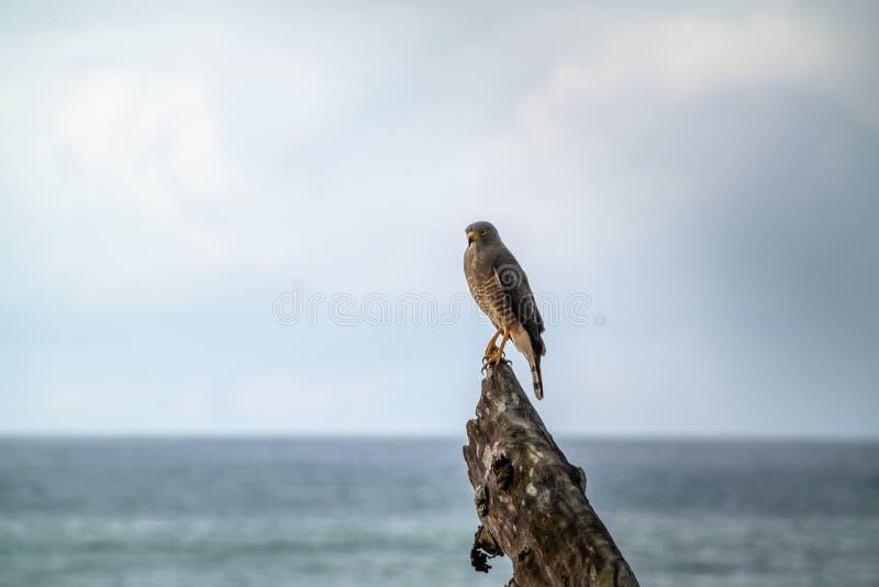 Roadside Hawk & x28;Buteo magnirostris. & x29;, taken in Costa Rica, accipitrids, accipitridae, bird, prey, birds, nature, raptor, animal, animals, avian stock photography