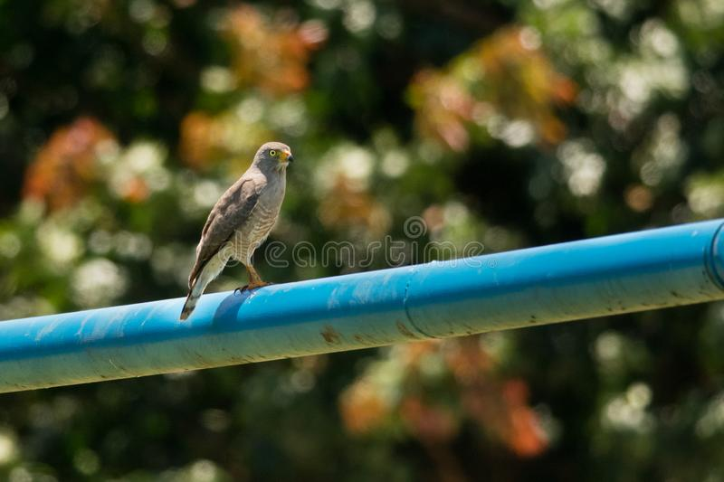 Roadside Hawk fotografia stock