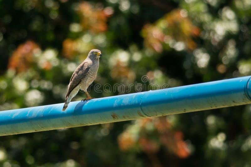 Roadside Hawk stock fotografie