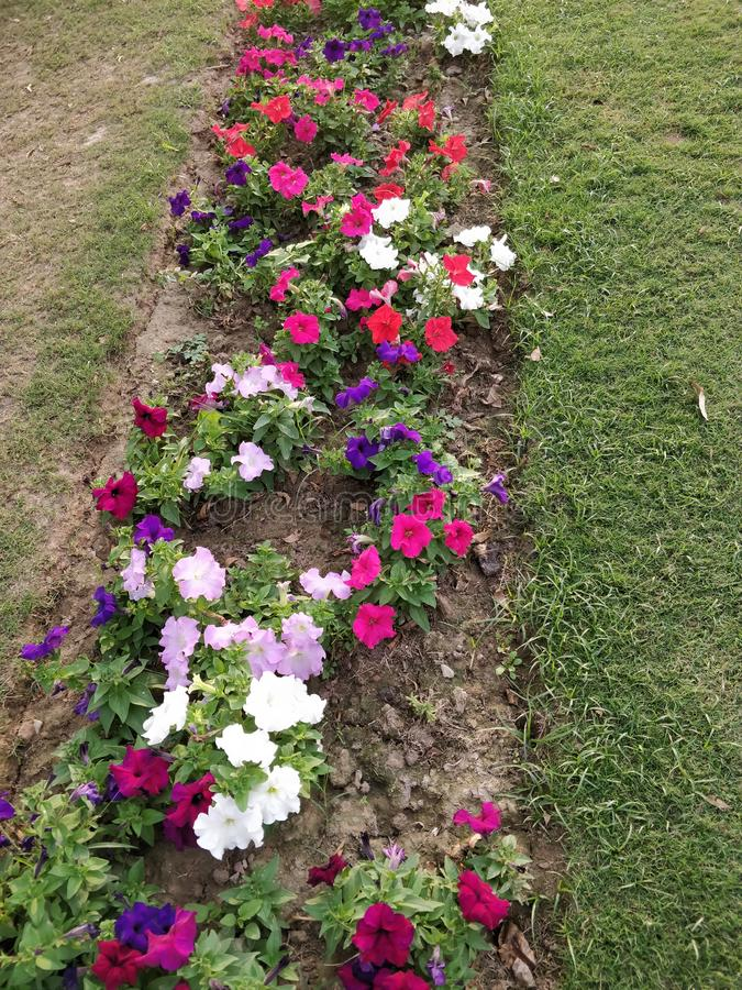 Roadside lawn  with multicolored petunia flower bed stock photography