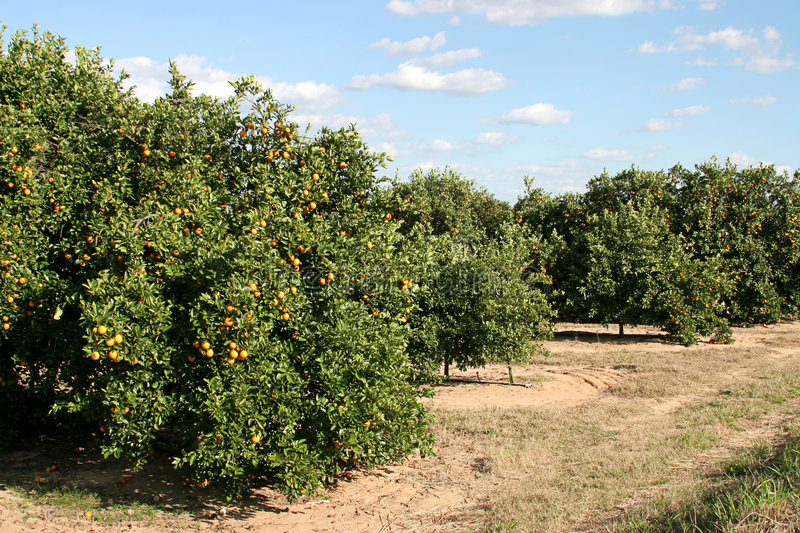 Roadside Orange Grove. A florida orange grove with oranges on the trees royalty free stock images