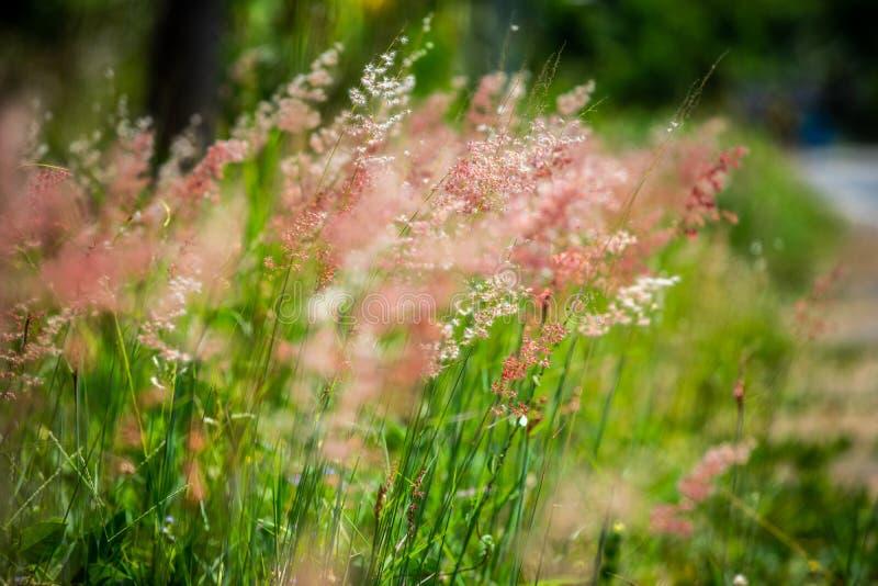 Roadside-roze bloemen stock foto's