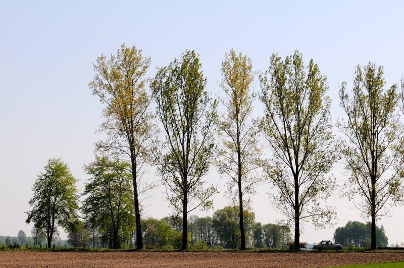 Roadside trees. Huge poplar trees next to road in Mazovia region, Poland royalty free stock images