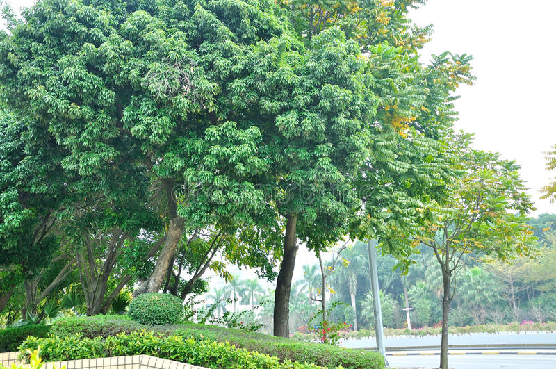 The roadside trees. In zhuhai royalty free stock images