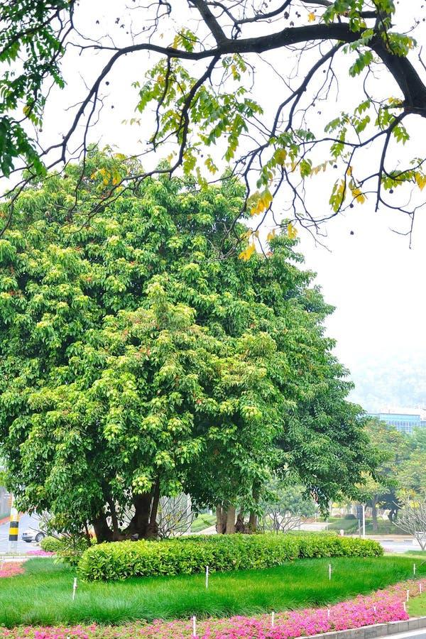 The roadside trees. In zhuhai royalty free stock image
