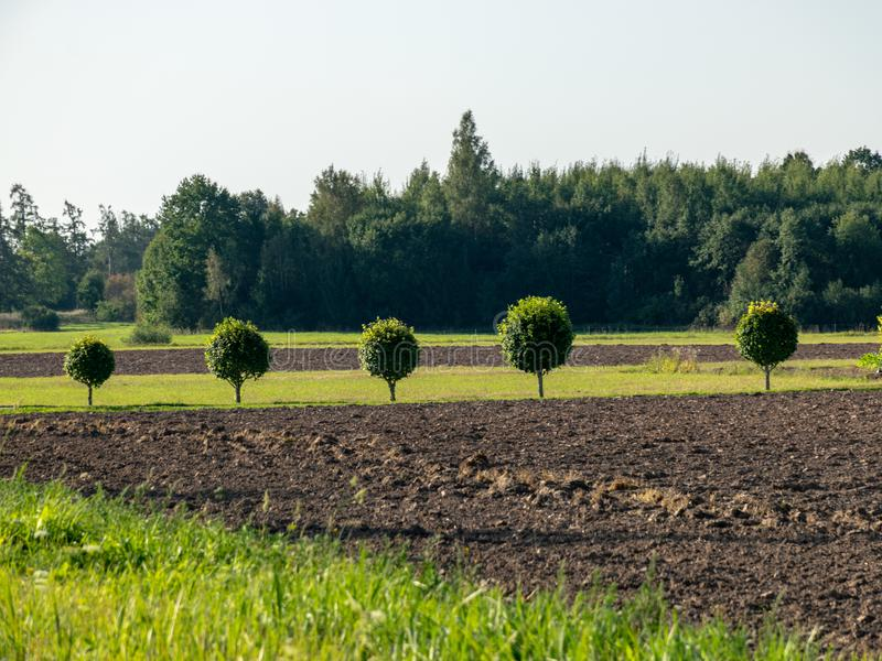 Roadside view with tree alley, round tree canopy, green grass. Treated field stock photography