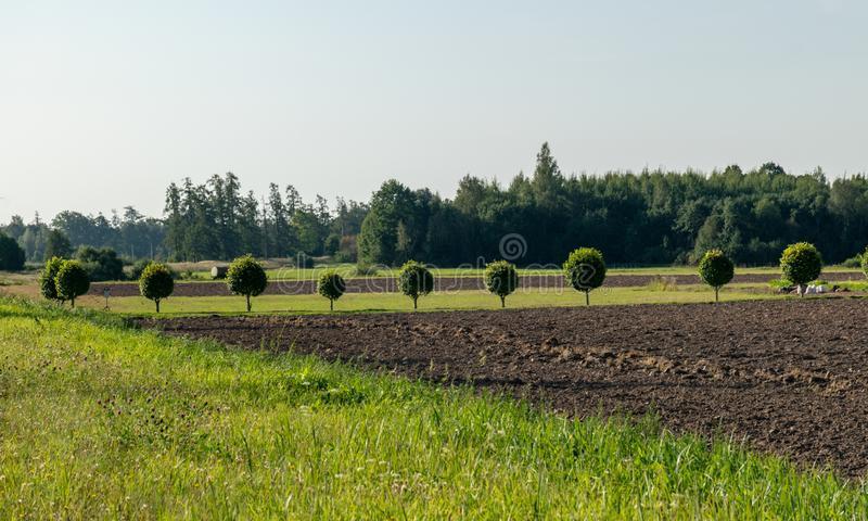 Roadside view with tree alley, round tree canopy, green grass. Treated field stock photo