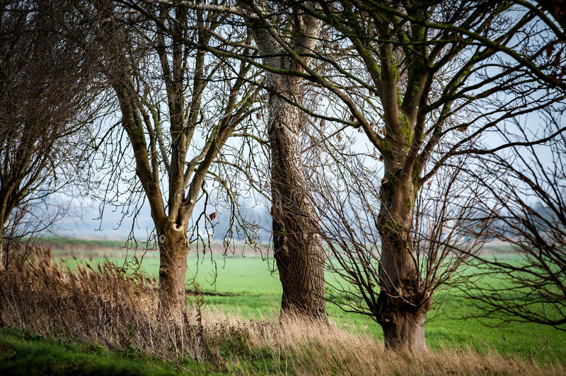 Roadside willow trees. Mature willow trees along side a fenland road in winter royalty free stock photos
