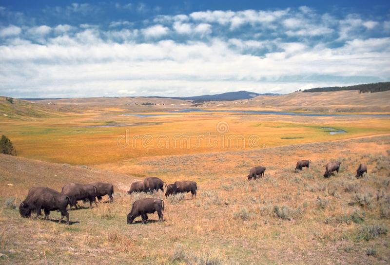 Download Roaming Buffalo stock image. Image of wild, skies, animals - 8357197